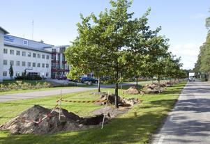 FLYTTER SÖDERUT. Ekarna längs Regementsvägen, vid Teknikparken i Gävle har blivit ett trafikproblem. Nu ska 19 träd flyttas, några ända till Stockholm.