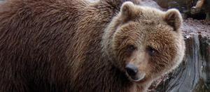 Djurparkschefen Pernilla Thalin har kunnat konstatera att 11-åriga björnhonan Freja har fått ungar.