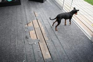 Familjens hund, Timo, vid hålet i altanmattan som gasolvärmaren brände upp.