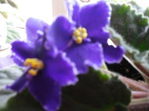 Mina saitpaulior har börjat att blomma nu när våren kommer.