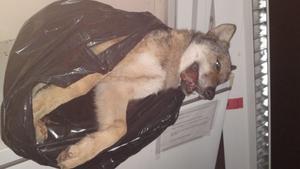Vargen fryses ner innan den skickas till Statens veterinärmedicinska anstalt (SVA) för obduktion.