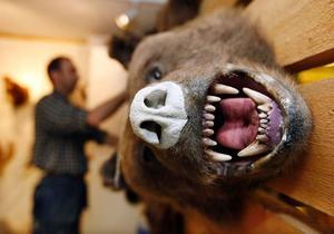 Hälften av alla björnar som fälldes vid jakten i fjol hamnade hos Thomas Jönsson i Tångeråsen.