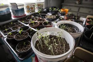 Tomat, gurka, persilja, thai-broccoli och alla sorters sallader planterar Pat Pineur.