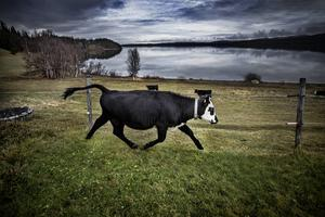 En liten kalv i Bunnerviken tyckte att gräset var grönare på andra sidan stängslet och smet.