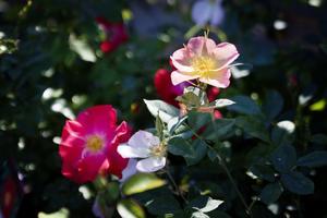I rosenträdgården blommar rosorna och doftar underbart. Det är nu man ska välja sin sort!