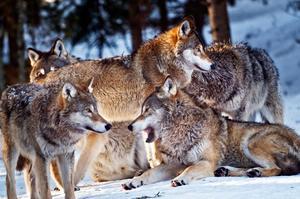 Totalt får sex vargar skjutas i licensjakten i Dalarna. Foto: Yvonne Åsell / SvD / TT