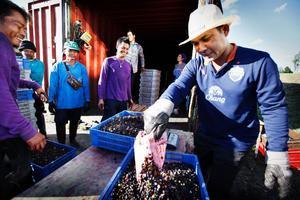 Mr Tilikan som är gruppchef på förläggningen i Hammerdal väger in dagens blåbärsskörd. Han gör sin tredje säsong i Jämtland. Hemma är han risbonde.