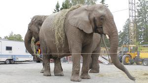 – Elefanterna Dunja och Daela är våra kronjuveler, säger Josefin Söderlind, marknadsansvarig på Cirkus Maximum.