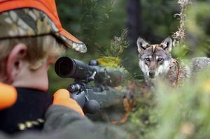 Naturskyddsföreningen överklagar årets licensjakt på varg. Grunden sammanfattas att vara vargens bevarandestatus.