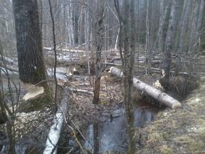 Jag sköter motionspår i Hallstahammar så när jag var ute för att röja bort träd,som bävern fällt över spåret fick jag idén,eftersom synpunkterna på det moderna skogsbruket är många.