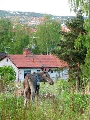 På den obebyggda tomten lade sig älgen till ro efter att ha spanat in utsikten över Östersund.