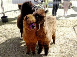 I en inhägnad på Jamtli höll tre alpackor till under helgen.