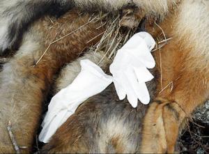 Längst upp på rävkropparna har någon lagt ett par vita handskar.
