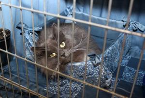 Har vanan inne och tar det med ro gör sibiriska katten Oshima the Kindly Nature i sin mysiga sidenkorg i väntan på att få visa upp sig för domaren. Stolt matte är Tina Wiberg från Sandviken.