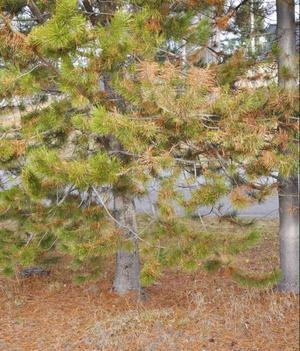 Varningstecken i naturen, exempelvis den abnorma barrfällningen, visar att det börjar gå utför.