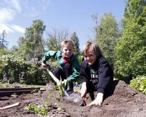 Det grävs friskt i jorden när blivande små trädgårdsmästare utbildas i Järvsö. Et djupt hål grävs här av William Bremefors och Erik Persson-Bergegård.