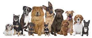 Renrasigt eller vägkorsning? Frågorna är många när man ska köpa hund.   Foto: Shutterstock.com