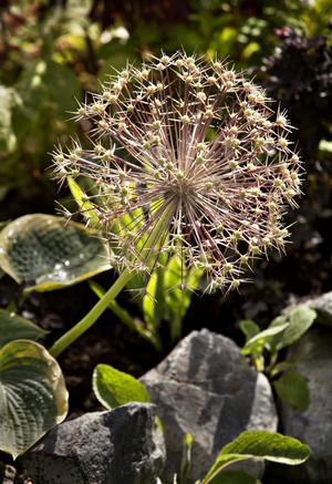 Jättestäpplöken Christophii har blommat över men är fortfarande praktfull.