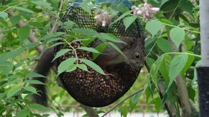 Det går runt med så många jordnötter att de är omöjliga att äta allihopa. Tur det, för då får småfåglarna också ett skrovmål.