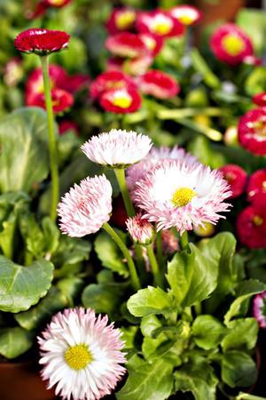 Vårblommor. De söta tusenskönorna trivs bäst i fuktig jord,  i krukor eller utplanterade.