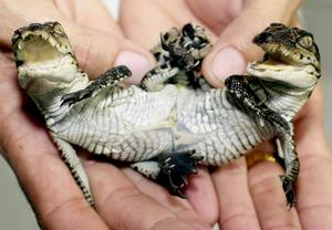 Tvåhövdad nyfödd crocodil i Thailand.