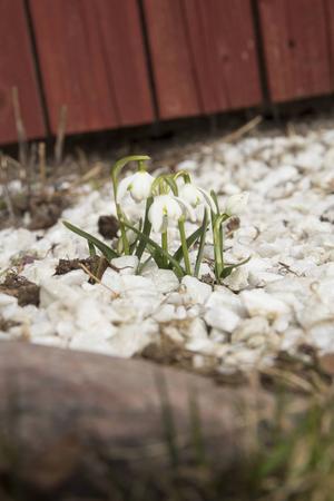 Den skira vårgrönskan är en föraning om den mer lummiga grönskan som omger torpet under sommaren.