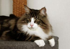 Precis så här stor och cool som Canadian är ska en ung norsk skogkatt vara när domarna på World Cat Show 2012 hittat sin favoritjunior.