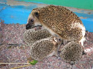 Vuxna igelkottar är ingen ovanlig syn i buskarna, men sex små ungar som bor under en rutschkana ser man inte varje dag. Foto:Privat