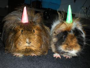 Marsvinen Nono och Kakan firar kräftskiva, party hattarna är på!