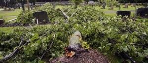 Omkullblåst träd på Gamla kyrkogården.