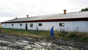 """En del av polisanmälningarna som Djurrättsalliansen gjorde handlade om att det var för lite halm hos grisarna. """"Den föser grisarna bort själva"""", säger Johan Vejdeland, grisuppfödare på Rödön.Senaste ladugårdsbygget blev klart 1995."""