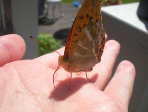Min kompis kom och satte sig på min hand. Jag hann precis ta en bild innan  fjärilen flög iväg.