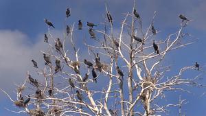 När skarvarna häckar på en trädbeklädd ö så läggs bona i träden istället för på klipporna.