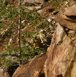 Kullsyskon. Så här såg uvungarna ut i början av sommaren, där de två största kikar fram mellan löven och den minsta, som föddes sist i kullen, skymtar bakom dem. Foto:Kalle Bergström