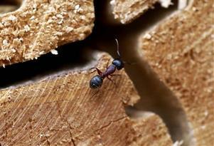 Myror - snart ett problem igen.