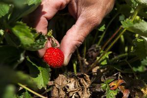 Mogna jordgubbar går att hitta för den som letar. Jordgubbar smakar bra tillsammans med grädde eller glass.