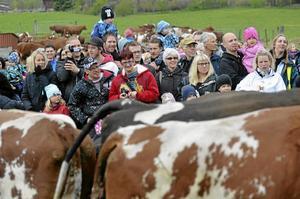 Med intresserade blickar följde många människor kossornas väg från ladugården till hagen.