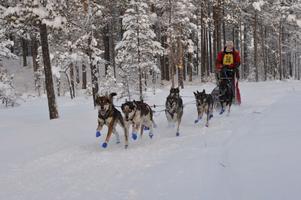 Ingvill Fauske vann klassen A-restricted tillsammans med sina åtta hundar.