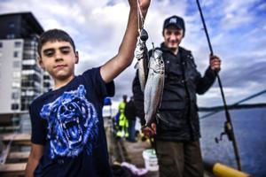 Strömmingsfiske från kajen i Örnsköldsvik kan ge gott resultat.  Foto: Leif Wikberg