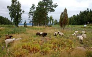 Där fåren betar planeras tomter för bebyggelse. De Vattnäsbor som protesterar mot den planerade bebyggelsen vill behålla strandskyddet. Foto: Jan Norberg/DT