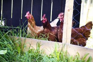 För att få hönsen tama måste man arbeta mycket med dem, plocka upp dem och klappa dem berättar Ewamay Johansson.