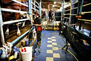 Från den här sänkan mellan båsen är det enkelt att använda mjölkmaskinen och fästa spenkopparna vid kornas juver.