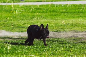 Fransk bulldog som sprang förbi när jag fotade gäss.