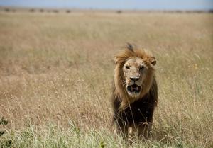 En gammal lejonhanne är inte att leka med, speciellt inte för yngre lejon. Foto: Daniel Rosengren