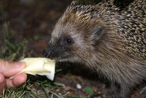 Tam igelkott i våran trädgård på gryta, äter ur handen och kan bli klappad utan att resa tagg.