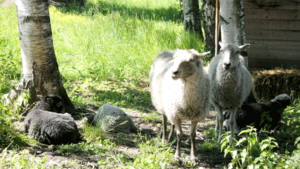 Ett av de små lammen saknas, som synes, på bilden. Lammen bor i hagen i Västanfors hela sommaren.