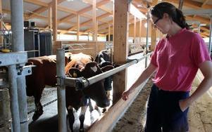 I ladugården går korna lösa. De går ut när de vill och mjölkas när de vill. Foto: Eva Högkvist