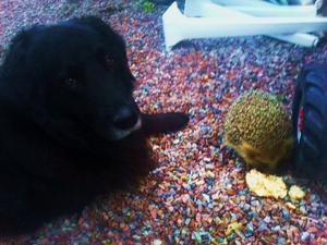 Min fina hund och en av de tre tama igelkottarna som dagligen kommer hit och får sig en matbit. Nu har de blivit kompisar med min hund som blir glad och viftar på svansen så fort han ser dem.