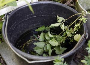 Nässelvatten – nyttigt för växterna.