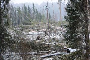 I december 2013 drog stormen Ivar fram och ödelade skogar i Medelpad.